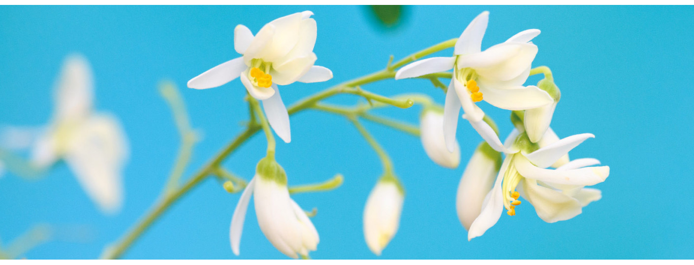 Zázvorová lilie