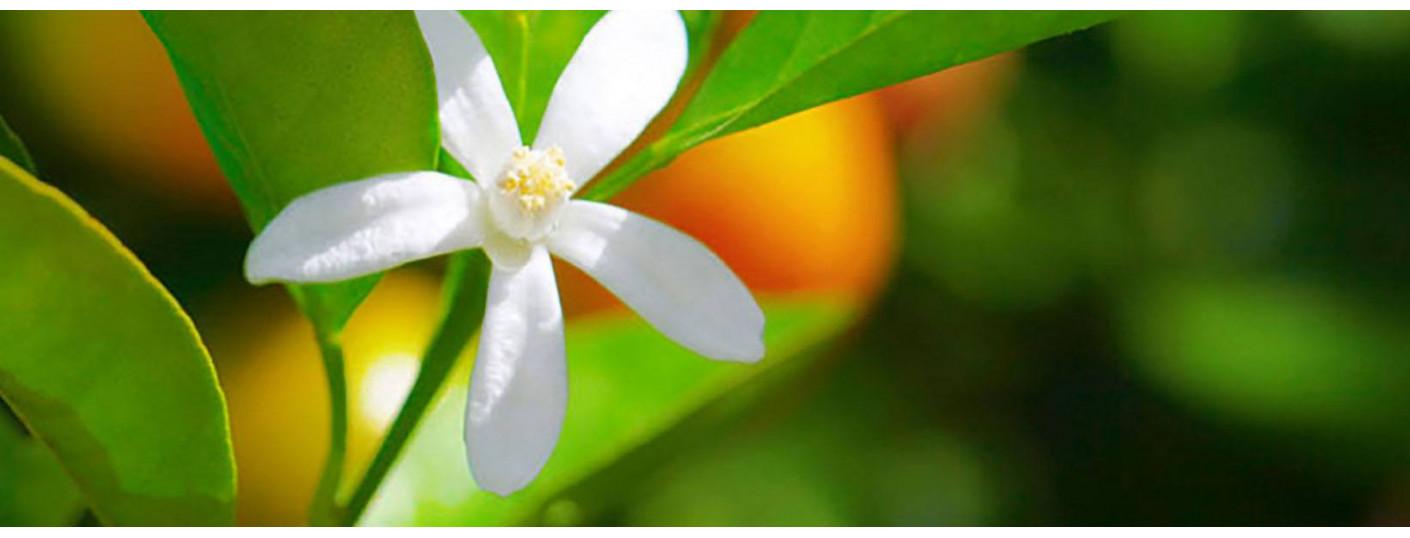 Květ pomeranče